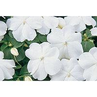 Семена цветов Бальзамин Уоллера Супер Эльфин ХР Вайт 1000 шт