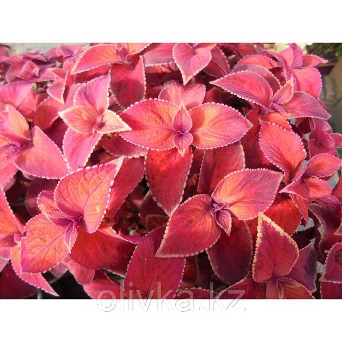 Семена цветов Колеус Визард Сансет 1000 шт
