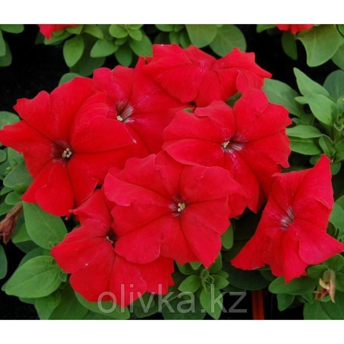 Семена цветов Петуния Лимбо GP Ред 1000 шт
