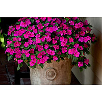Семена цветов Бальзамин Уоллера Бикон Виолет Шейдс 500 шт
