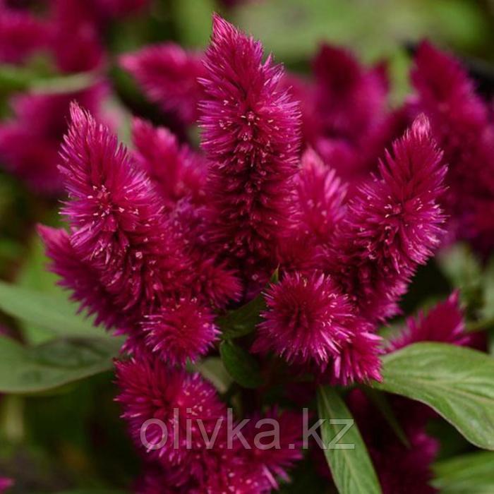 Семена цветов Целозия колосковая Космо Пурпл Ред 100 шт