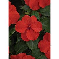 Семена цветов Бальзамин Уоллера Бикон Брайт Ред 500 шт