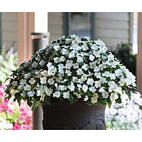 Семена цветов Бальзамин Уоллера Бикон Вайт 500 шт