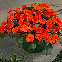 Семена цветов Бальзамин Уоллера Бикон Оранж 500 шт