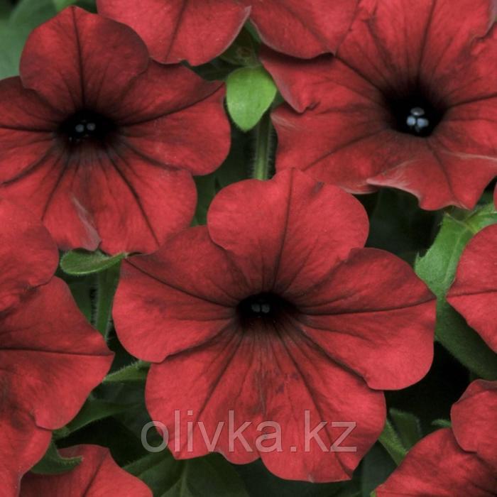 Семена цветов Петуния ампельная Изи Вейв Ред Велюр 100 шт