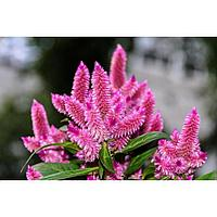 Семена цветов Целозия колосковая Космо Пинк 100 шт