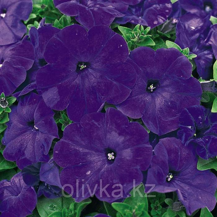 Семена цветов Петуния многоцветковая Мамбо GP Блю 1000 шт