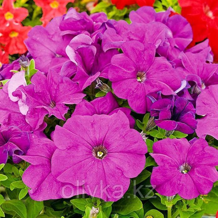 Семена цветов Петуния многоцветковая Мамбо GP Виолет 1000 шт