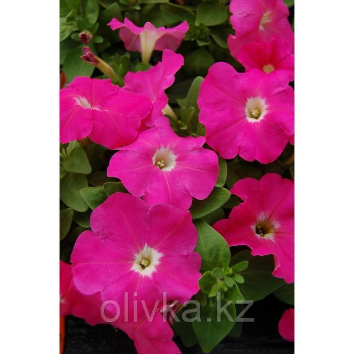 Семена цветов Петуния многоцветковая Мамбо GP Пинк 1000 шт