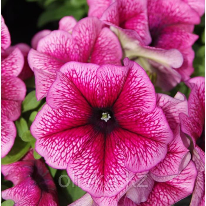 Семена цветов Петуния многоцветковая Мамбо GP Плам 1000 шт