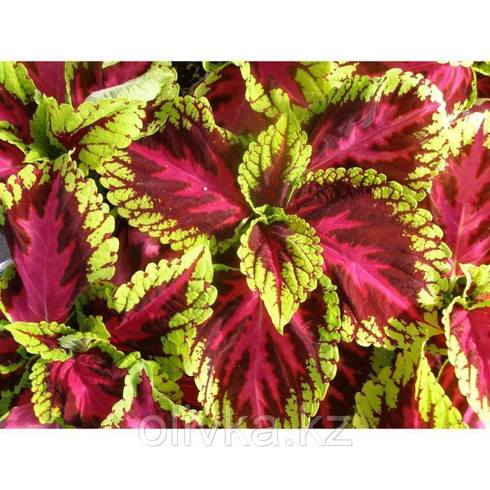 Семена цветов Колеус Конг Роуз 100 шт