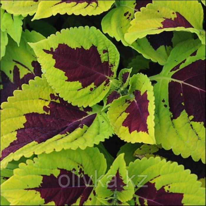Семена цветов Колеус Конг Лайм Спрайт 100 шт