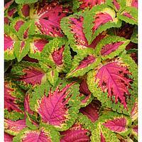 Семена цветов Колеус Премиум Сан Ватермелон 100 шт