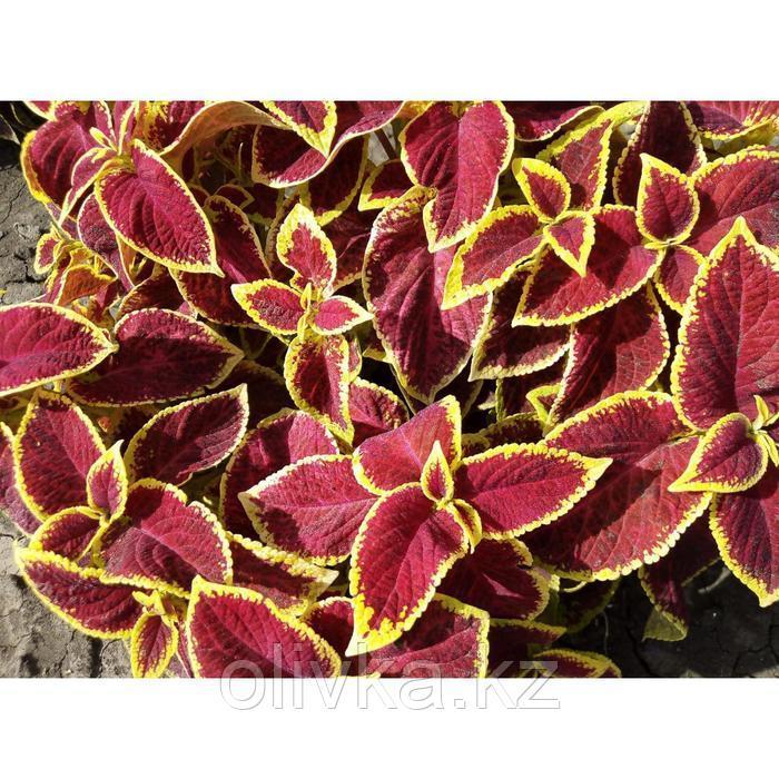 Семена цветов Колеус Премиум Сан Кримсон Голд 100 шт