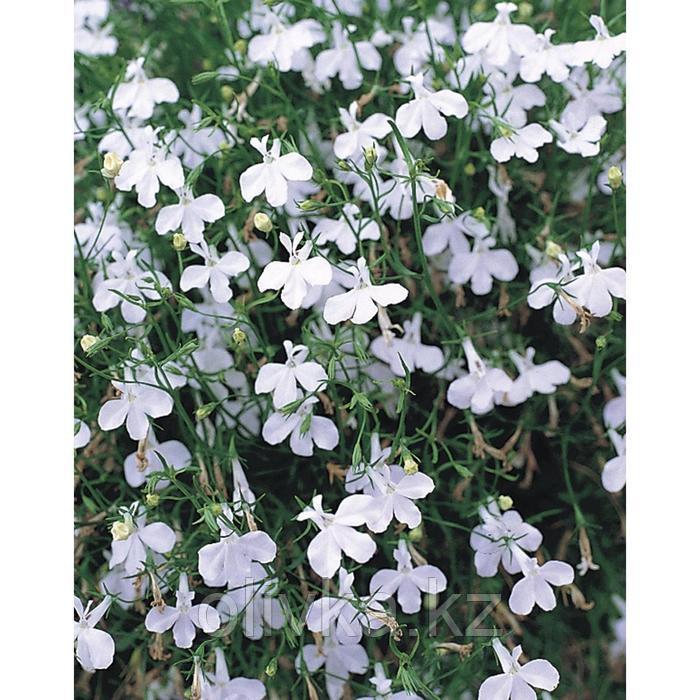 Семена цветов Лобелия Регата Вайт 1000 шт