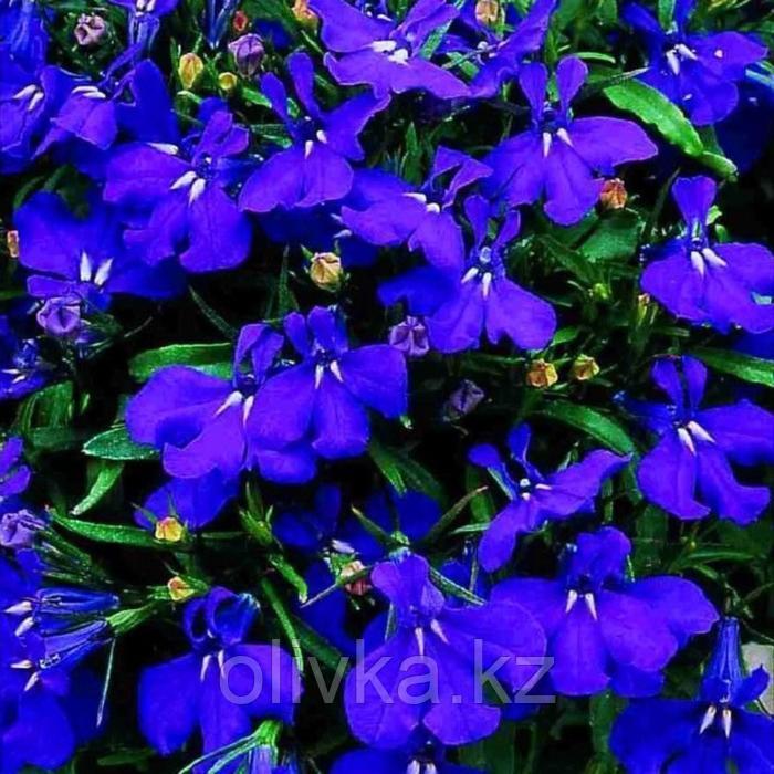 Семена цветов Лобелия Регата Миднайт Блю 1000 шт
