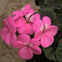 Семена цветов Пеларгония зональная Горизонт Роуз 100 шт