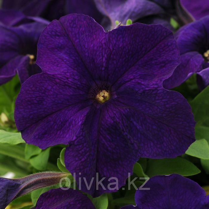 Семена цветов Петуния крупноцветковая Эз Райдер Блю 1000 шт