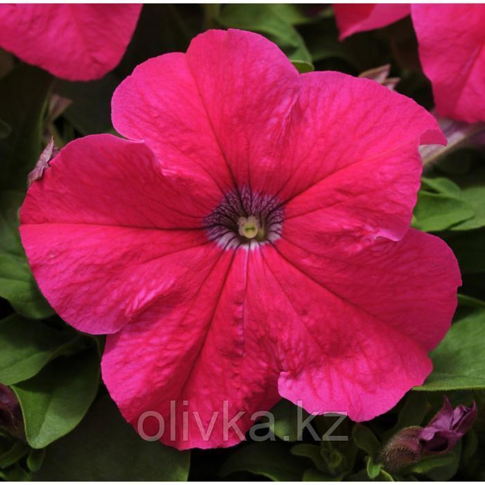 Семена цветов Петуния крупноцветковая Эз Райдер Роуз 1000 шт
