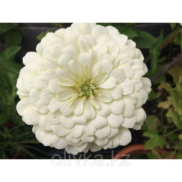 Семена цветов Цинния Мастер Вайт 1000 шт