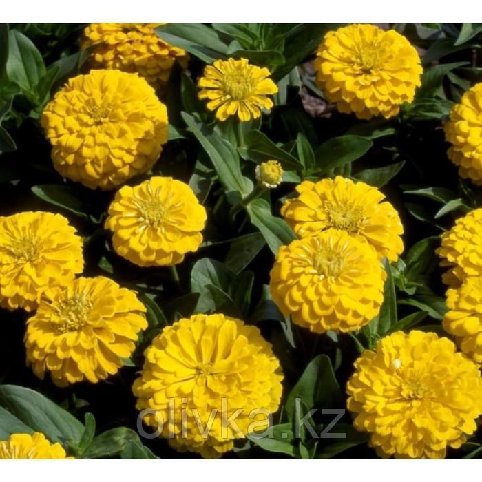 Семена цветов Цинния Мастер Еллоу 1000 шт