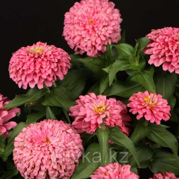 Семена цветов Цинния Мастер Пинк 1000 шт