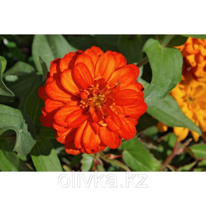 Семена цветов Цинния Тополино Бронз 1000 шт