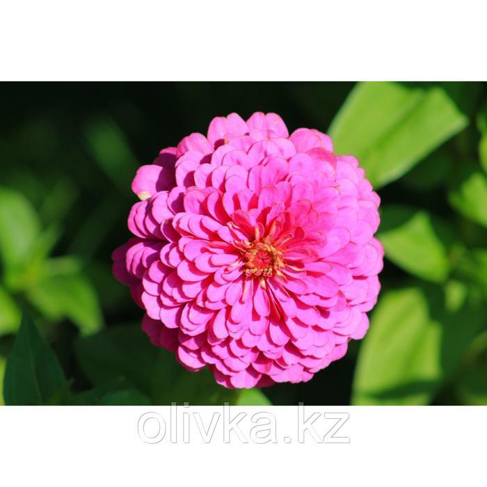 Семена цветов Цинния Тополино Салмон 1000 шт