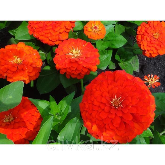 Семена цветов Цинния Тополино Скарлет 1000 шт