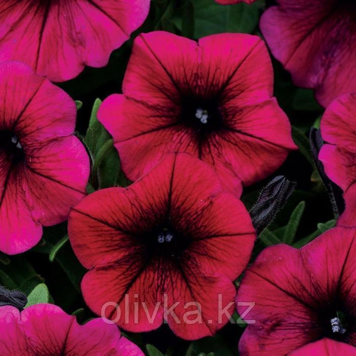 Семена цветов Петуния ампельная многоцветковая Шок Вейв Дип Пурпл 100 шт