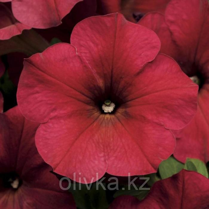 Семена цветов Петуния ампельная Изи Вейв Берри Велюр 100 шт