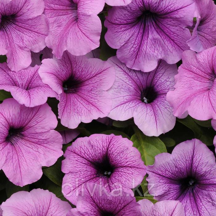 Семена цветов Петуния ампельная Изи Вейв Плам Вейн 100 шт
