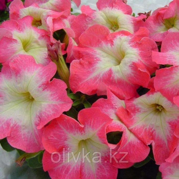 Семена цветов Петуния Лимбо GP Пинк Морн 1000 шт