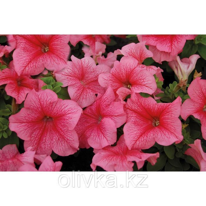 Семена цветов Петуния Лимбо GP Ред Вейн 1000 шт