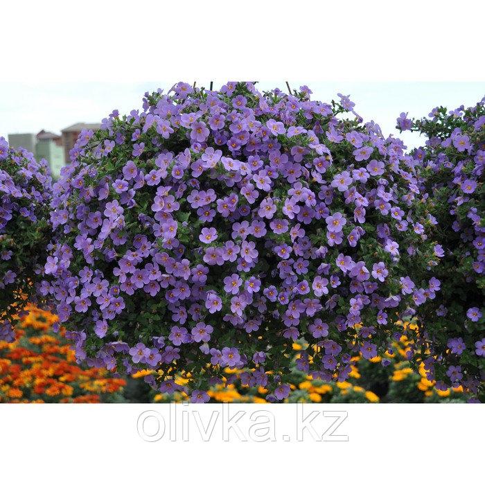 Семена цветов Бакопа Блутопия 100 шт