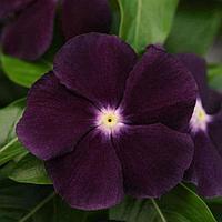 Семена цветов Катарантус Джемс-н-Джеллис Блэкберри 500 шт