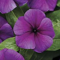 Семена цветов Катарантус Джемс-н-Джеллис Блюберри 500 шт