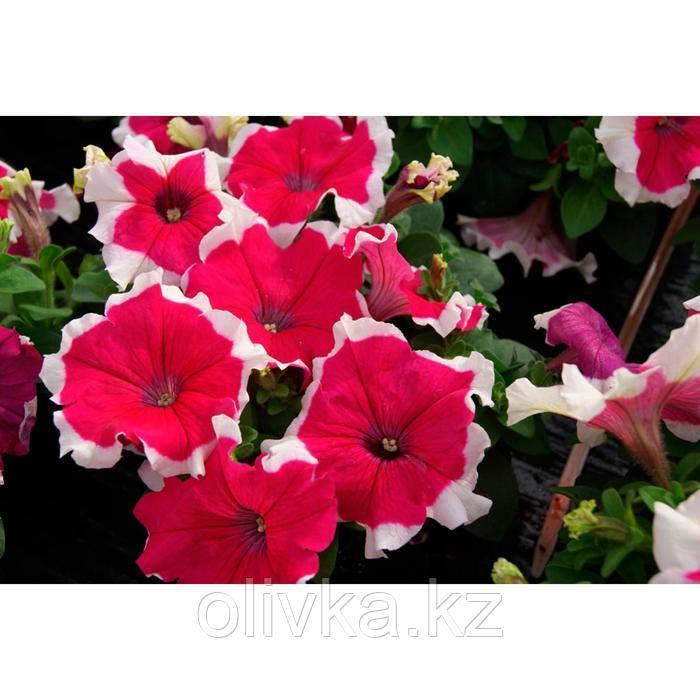 Семена цветов Петуния Лимбо GP Роуз Пикоти 1000 шт
