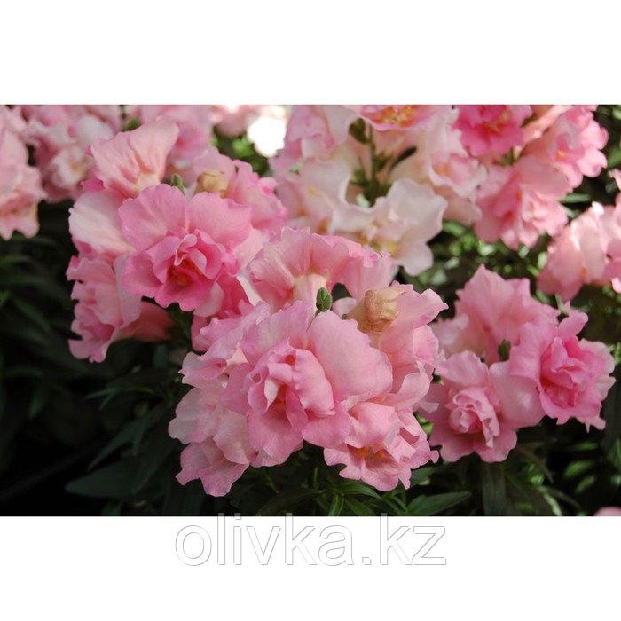Семена цветов Антирринум Твинни Роуз 1000 шт