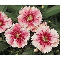 Семена цветов Гвоздика гибридная Идеал Селект Вайтфайер 1000 шт