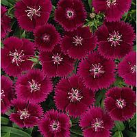 Семена цветов Гвоздика гибридная Идеал Селект Виолет 1000 шт