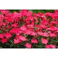 Семена цветов Гвоздика гибридная Идеал Селект Роуз 1000 шт