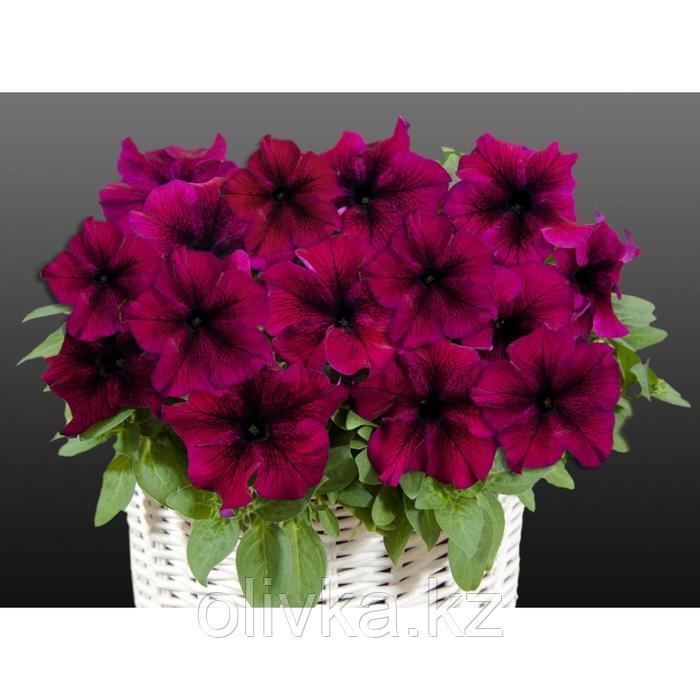 Семена цветов Петуния крупноцветковая Капри Бургунди 1000 шт