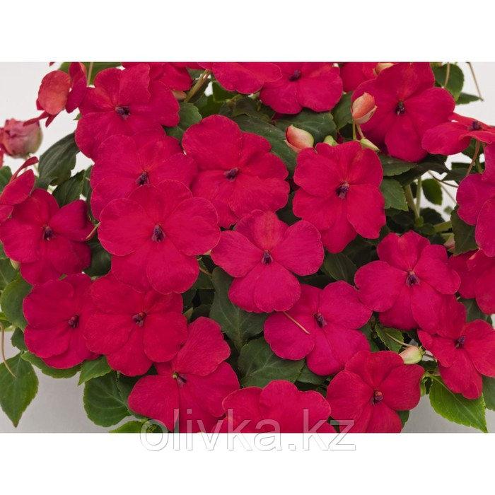Семена цветов Бальзамин Уоллера Баланс Бургунди 1000 шт