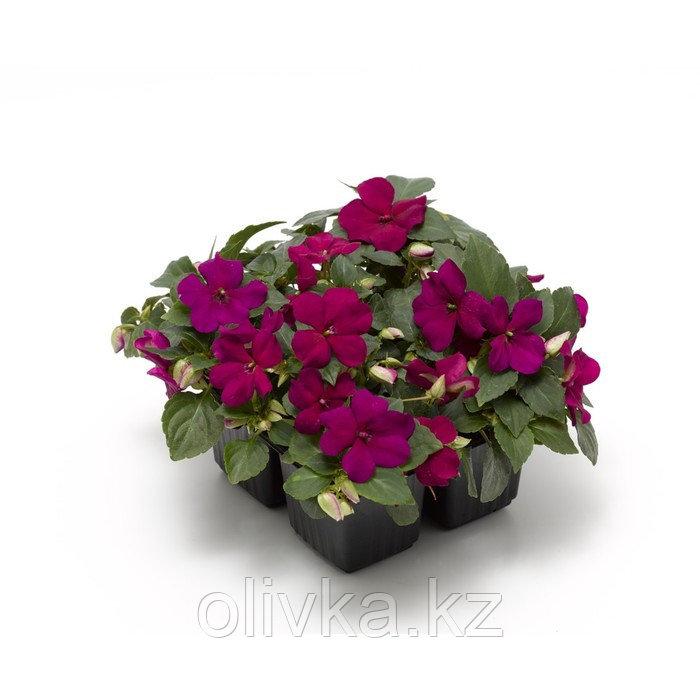 Семена цветов Бальзамин Уоллера Баланс Виолет 1000 шт