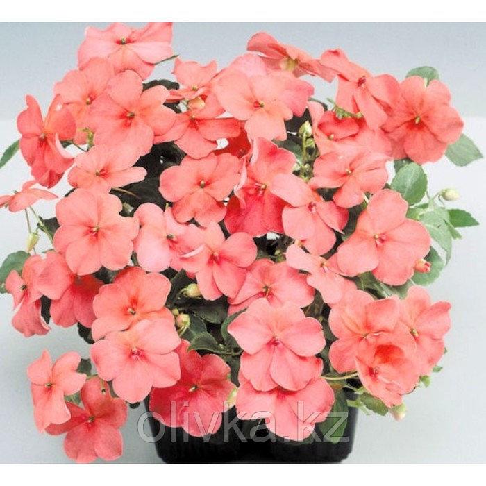 Семена цветов Бальзамин Уоллера Баланс Корал 1000 шт