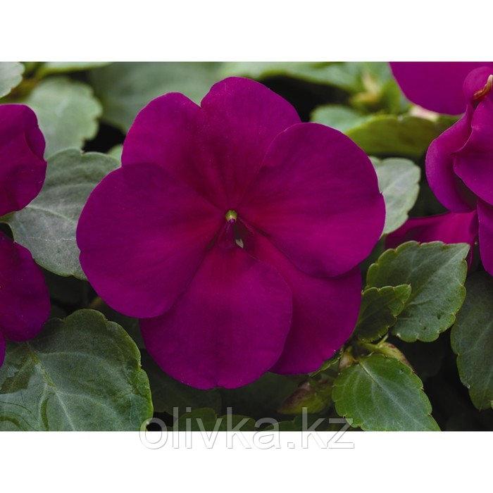 Семена цветов Бальзамин Уоллера Импреза Виолет 1000 шт