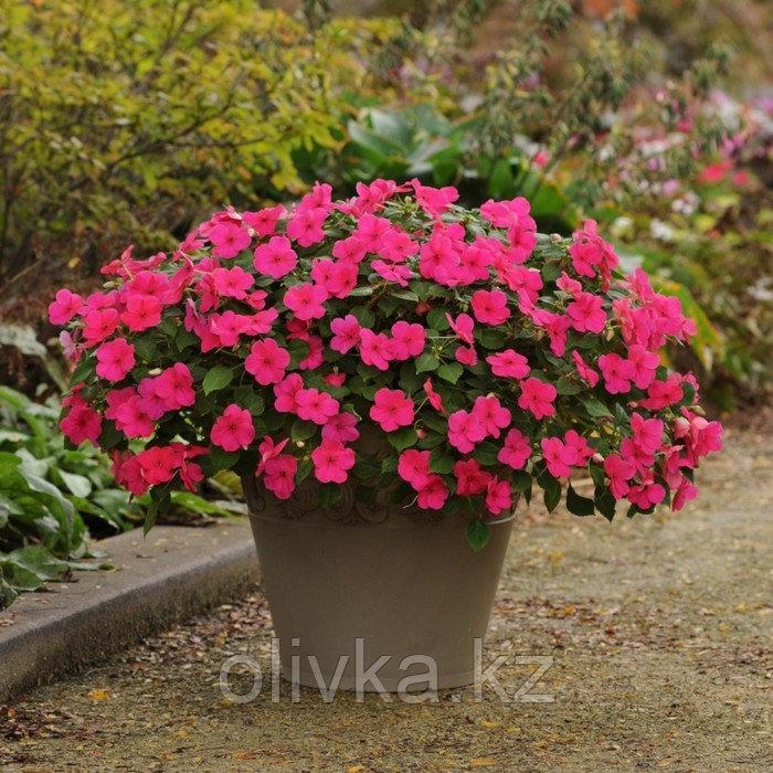 Семена цветов Бальзамин Уоллера Импреза Пунш 1000 шт