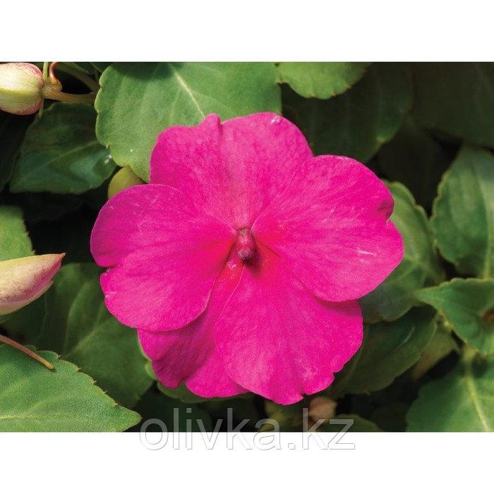 Семена цветов Бальзамин Уоллера Импреза Роуз 1000 шт