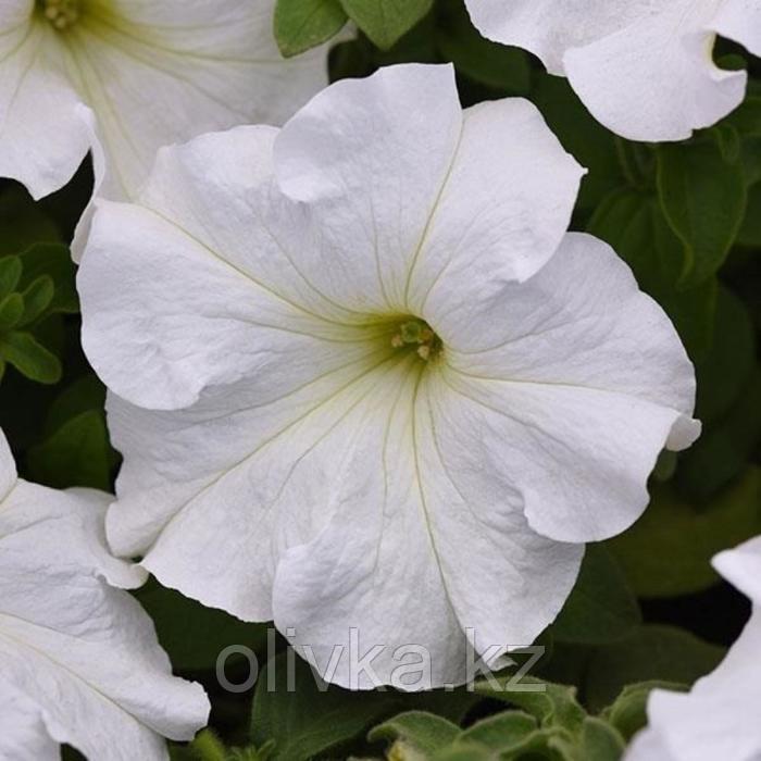 Семена цветов Петуния многоцветковая Джоконда Вайт 1000 шт